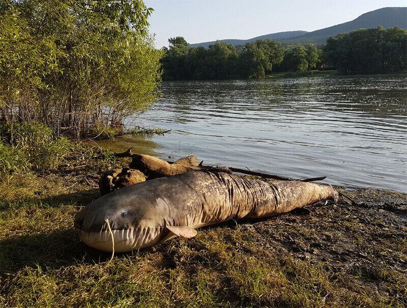 Szörny harcsát találtak a Duna parton